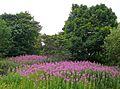 Rosebay Willowherb in Illingworth Churchyard (4834992211).jpg