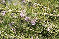 Rosmarinus officinalis Collingwood Ingram 0zz.jpg