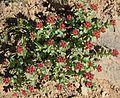 Rosy sedum Sedum rosea clump.jpg
