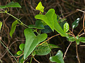 Rough Bindweed (Smilax aspera) leaves (15914495895).jpg