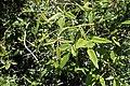 Rubus cissoides kz7.jpg