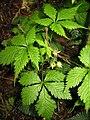 Rubus ikenoensis.JPG