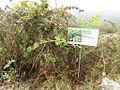 Rubus indicus eravikulam.JPG