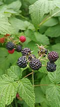 Rubus occidentalis (35029818313).jpg