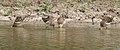 Ruffs (Philomachus pugnax) at Bharatpur I IMG 5578.jpg