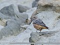 Rufous-tailed Rock-thrush (Monticola saxitilis) (44959908551).jpg