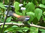 Fil:Rufous Fantail mill06.ogv