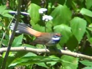 File:Rufous Fantail mill06.ogv