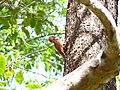 Rufous Woodpecker - Micropternus brachyurus Apr07 030.jpg