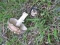 Ruhland, Ortrander Str. bei Hausnr. 8a, Pantherpilz auf dem Rasen, Spätfrühling, 03.jpg