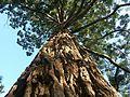Séquoïa géant d'Angers - panoramio.jpg