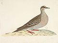 SLNSW 823133 f82 Common Bronzewing Pigeon Phaps chalcoptera.jpg