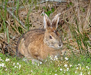 SNOWSHOE HARE (Lepus americanus) (5-28-2015) quoddy head, washington co, maine -01 (18988734889).jpg