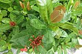 SZ 深圳 Shenzhen 南山 Nanshan District 南海大道 1059 Nanhai Blvd Dayhello Hotel red flowers green leaves Sept 2017 IX1 大王紅仙丹 Ixora 04.jpg