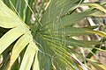 Sabal palmetto 6zz.jpg