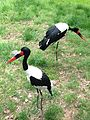 Saddle-billed Stork at the Maryland Zoo.jpg