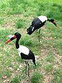 Saddle-billed Stork at the Maryland Zoo.jpg