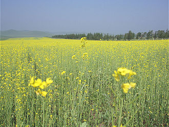 Hebei - Saihanba National Park in Inner Mongolian plateau grassland border, north Chengde, Hebei