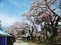 Sakura at keijo Park 01.jpg