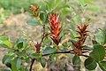 Salix × moorei kz01.jpg
