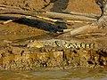 Saltwater Crocodile (Crocodylus porosus) juvenile (8067785958).jpg