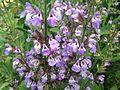 Salvia̞-Officinalis-Garden-Sage-Subshrub-Lamiaceae.jpg