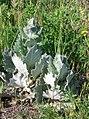Salvia aethiopis-3.jpg