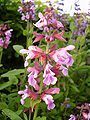 Salvia officinalis-20050607-2.jpg