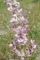 Salvia sclarea kz01.jpg