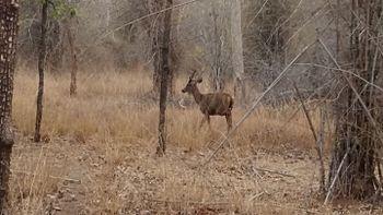 Sambhal Deer.jpg