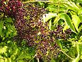 Sambucus nigra ssp canadensis 5423964.jpg
