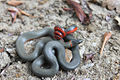 San Bernardino Ringneck Snake.jpg