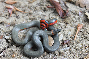 Ring-necked snake - The defensive display of a San Bernardino ring-necked snake