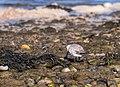 Sanderling (52294).jpg
