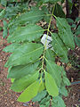 Santalum album leaves.jpg