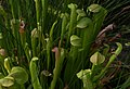 Sarracenia minor at the Brooklyn Botanic Garden (81407).jpg