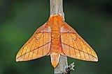 Saturnid moth (Adeloneivaia jason).jpg