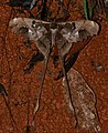 Saturniid Moth (Copiopteryx jehovah) (25014117407).jpg