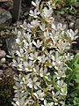 Saxifraga callosa ssp. callosa, RBGE 2010.jpg