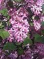 Saxifragales - Ribes sanguineum - kew 1.jpg