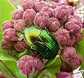 Scarabaeidae. Cetoniinae. Rose Chafer. ( Cetonia aurata^ ) - Flickr - gailhampshire (1).jpg