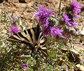 Scarce Swallowtail. Iphiclides podalirius feisthameli. First brood female - Flickr - gailhampshire.jpg