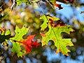Scarlet Oak (30873601235).jpg