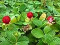 Scheinerdbeere (Potentilla indica)-2.JPG