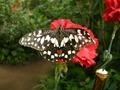 Schmetterling5x.tif