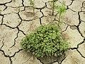 Scleranthus annuus (s. str.) sl35.jpg