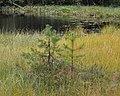 Scots Pine (Pinus sylvestris) - Oslo, Norway 2020-09-02.jpg