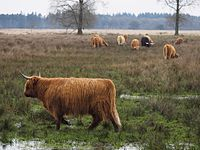 Scottish cattle grazing in wet grasslands.jpg
