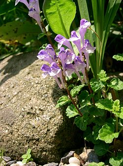 Scutellaria sp1.jpg