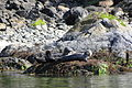 Sea Lions Basking on Rock on Clayoquot Sound - Near Tofino - Vancouver Island BC - Canada.jpg